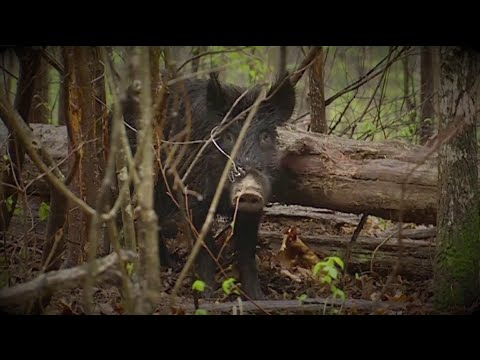 Missouri's Feral Hog Problem