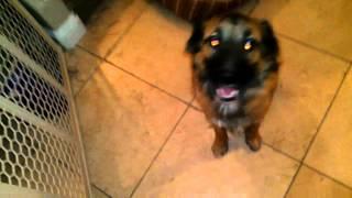 Border Collie Mix With German Shepherd Good Boy