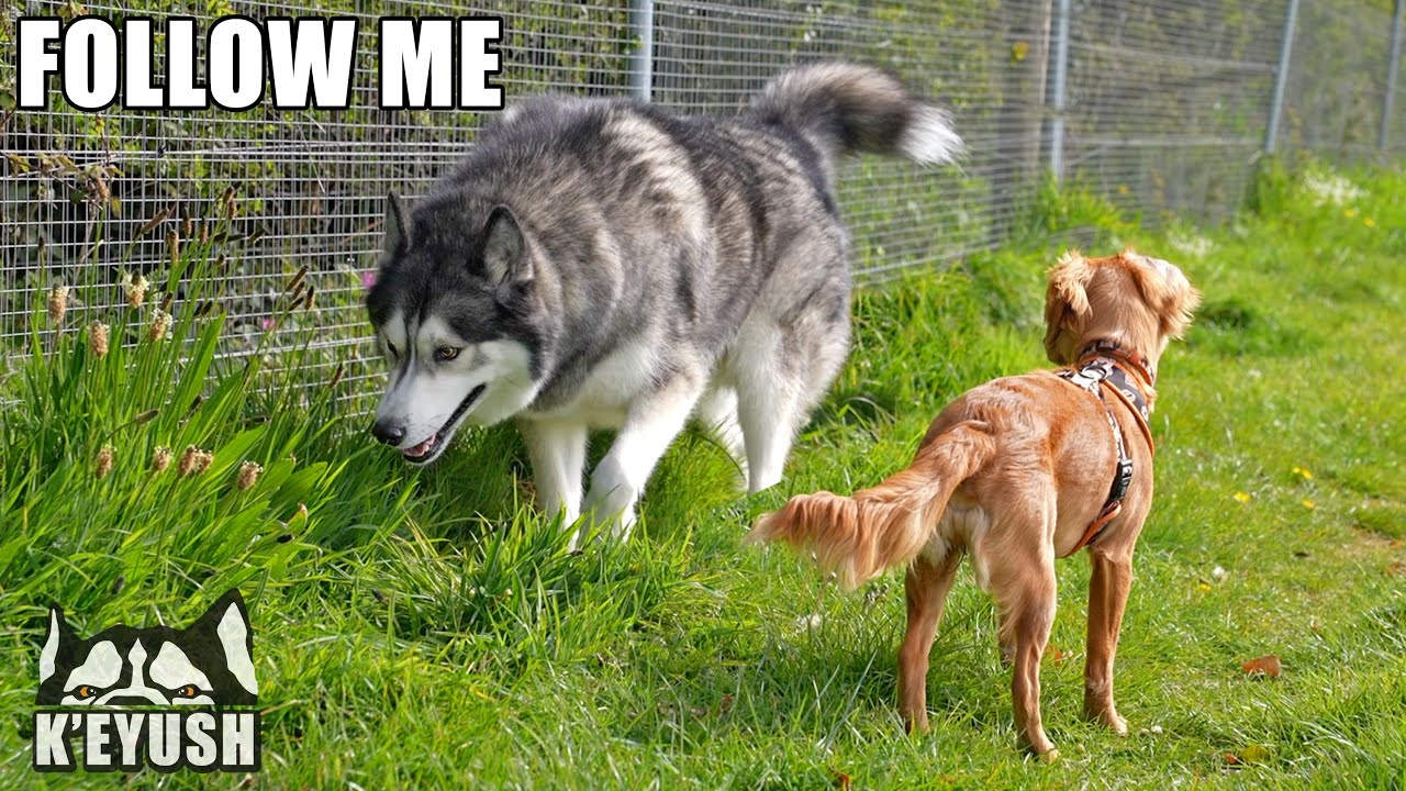 Calm Husky Teaches Hyper Puppy And Talks To Her!