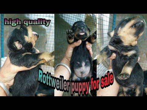 high-quality-rottweiler-puppy-for-sale-||-pomotoy-anurag-||-||-jsk-pets-||