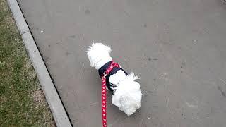 Прогулка с Бони🌿 Собачка Бишон фризе