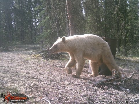 Bear Hunting Grand Slam: Unreal Hunting Situation Ends With A Blonde Bear. Insane Five Minutes.