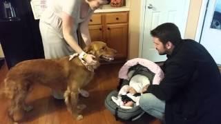Golden Retriever Max meets baby sister!