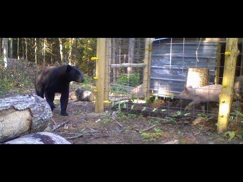 Bear VS Electric Fence