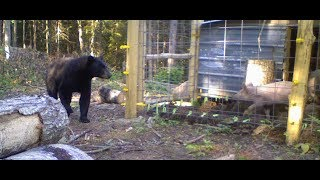 Bear VS Electric Fence