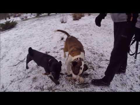 Амстаффтерьер и Питбуль-метис/American Staffordshire Terrier and Pit Bull Mixed (GoProHero3+)
