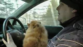 Наш Смурфик - 4 (собака шпиц!)