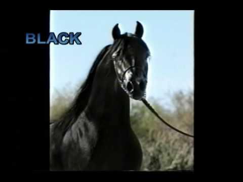 """Black"" Arabian Stallion 2nd video"