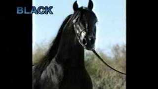 """Black"" Arabian Stallion 2nd video"