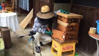 2018 06 12日本みつばち2群の採蜜をする