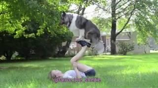 Lance SHETLAND SHEEPDOG Agility and Stunts Moment