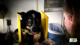 Ringo the Special Needs Husky Finds His Perfect Home