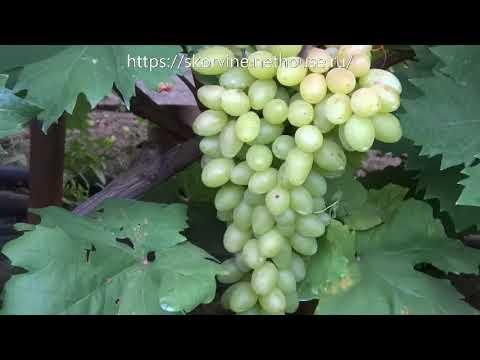 Сорта винограда 2018. Кишмиш Арсеньевский - самый крупный кишмиш 1 класса
