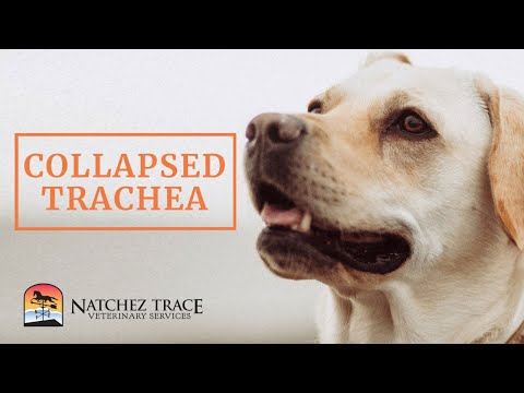 Home Remedies For Dog With Collapsed Trachea