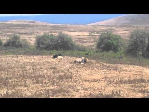 Tanzania- Ngorongoro Conservation Area- Lions 2
