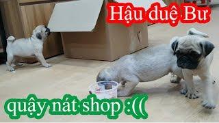 Hậu duệ của Pug Bư - Một đàn Pug Baby siêu dễ thương tăng động quậy nát shop =)) PUGK PET