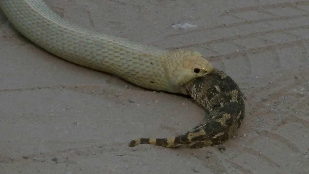 Cape Cobra Killing A Puff Adder Youtube