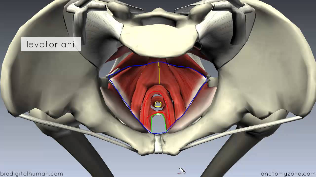 Pelvic Floor Part 1 The Pelvic Diaphragm 3d Anatomy Tutorial