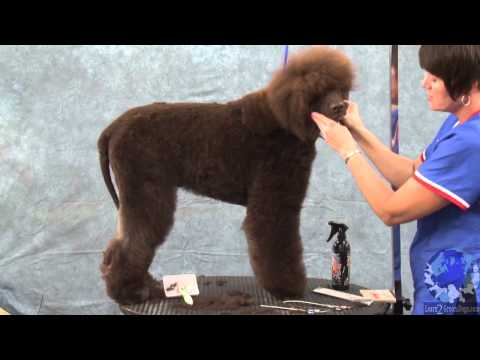 Grooming the Irish Water Spaniel Part 1