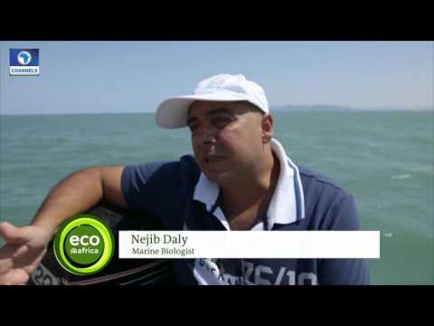 Eco@Africa Ep.9: Jelly Fish Invasion Hinders Fishermen, Tourists In Tunisia