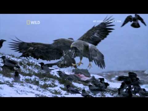 Scandinavia: Sea Eagle Vs Hooded Crow