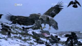 Scandinavia: Sea Eagle Vs Hooded Crow