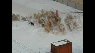 Бродячие собаки нападают на ребенка