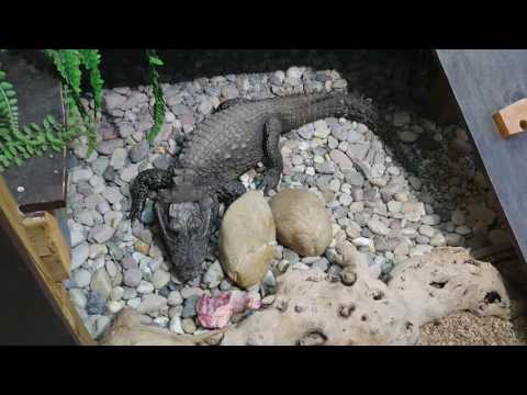Hungry African Dwarf Crocodile