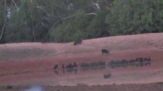 Feral pig hunting Australia ATN shot track NSW