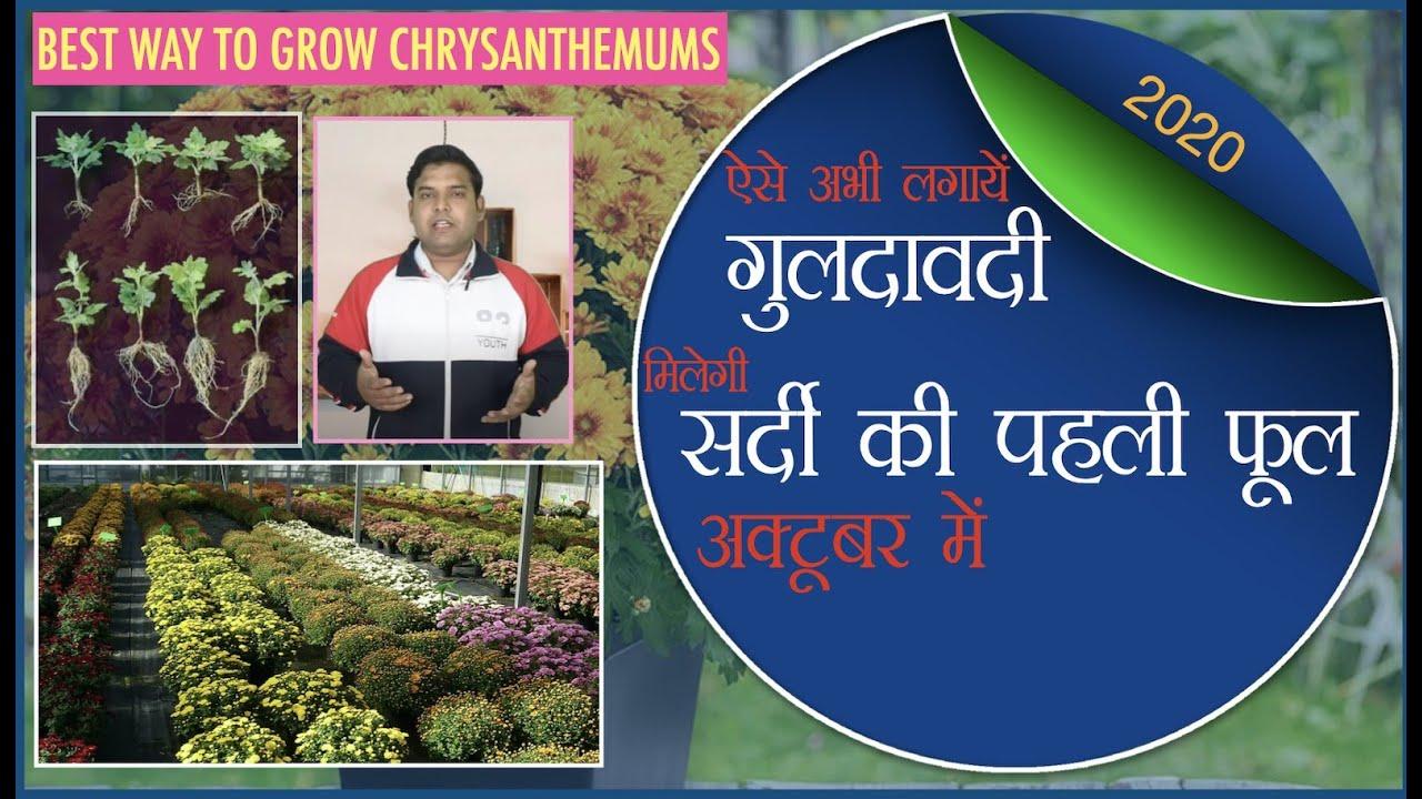 गुलदाउदी या चंद्रमल्लिका अक्टूबर में ऐसे उगाऍं और सर्दी का पहला फूल पाएँ    Best Way To Grow Mums.