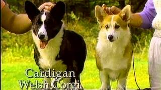 Welsh Corgis Overview - Akc Dog Breed Series
