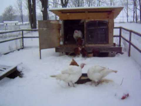 Raising Backyard Turkeys