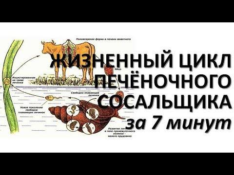 ЖИЗНЕННЫЙ ЦИКЛ ПЕЧЕНОЧНОГО СОСАЛЬЩИКА ЗА 7 МИНУТ (+ разбор заданий)