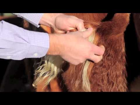 Hereford DNA Testing: How to pull hair samples - YouTube
