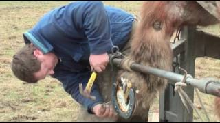 Belgian Draft Horses: hot shoeing by farrier Gerard Dullaert
