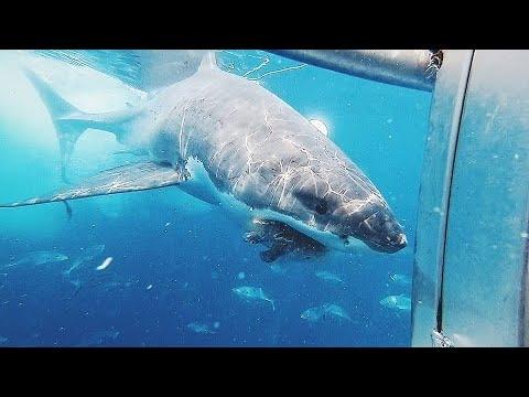Luis Treviño - Buzo Se Espanta Cuando Tiburon Blanco Ataca Su Jaula!