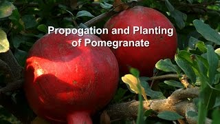 Propagation and Planting of Pomegranate