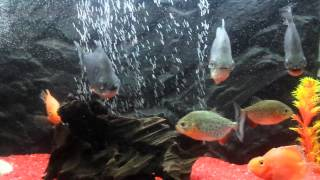 Red Belly Piranha & Pacu & Red Parrot