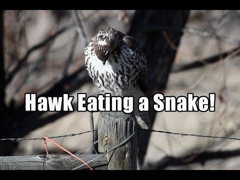 Hawk Eating a Snake (Longmont Colorado)