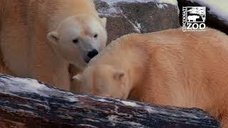 Polar Bear Love? - Cincinnati Zoo
