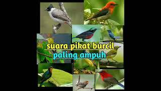 Download Lagu SUARA PIKAT BURCIL(BURUNG KEJEPIT) TERAMPUH.100% mp3