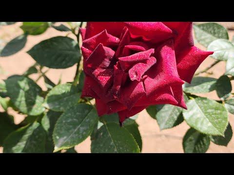 طفل عراقي يقلد معلقي كرة القدم thumbnail