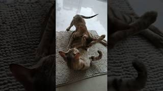 Mother Cat And His Child Playing By Only Animation