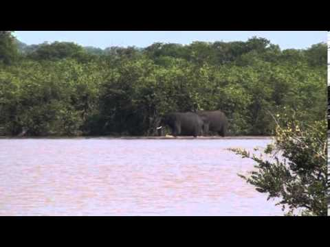 Movie   Elephants swimming