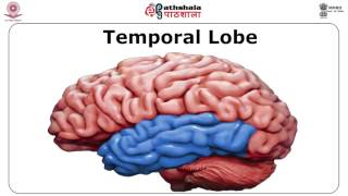 Temporal Lobe: Functions and Syndromes (PSY)