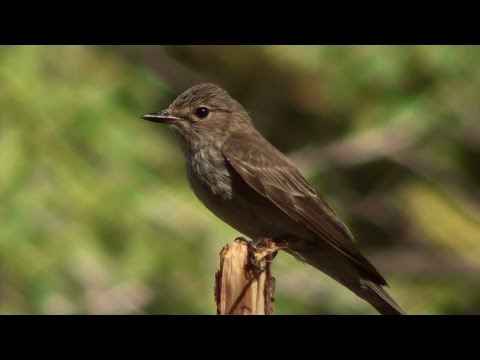 Papamoscas gris (Muscicapa striata) Spotted Flycatcher +