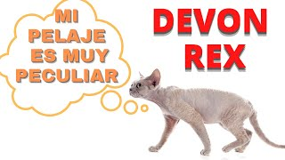 Devon Rex  Un gato con pelo Rizado