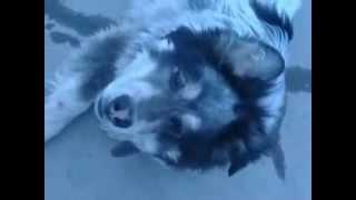 АЛАБАЙ самая сильная собака в мире