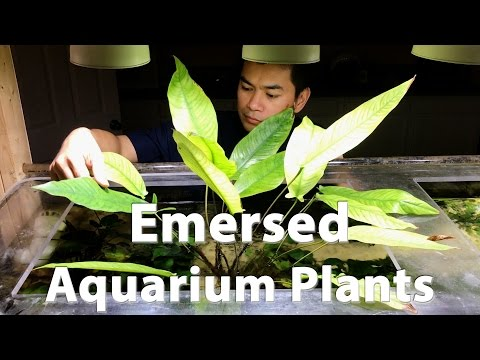 Emersed Aquarium Plants