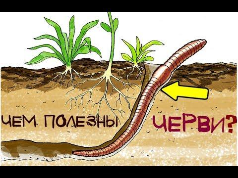 Чем полезны черви на огороде? Чем полезны черви для земли?